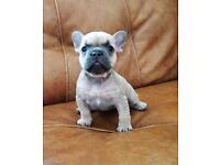 TWO GIRLS KC Registered Fawn Female French Bulldogs
