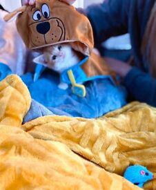 Beautiful ginger kitten for sale with kitten bundle
