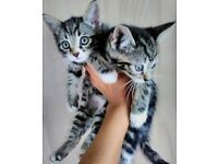 Blue Maine coon kittens for sale