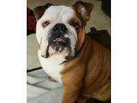 KC Registered British Bulldog