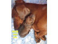 READY TO GO -PRA CLIEAR STANDARD Dachshund puppies