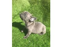 kc reg french bulldogs ready this weekend