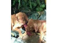 Fully vacciknated KC registered Hungarian vizsla puppies kc registered