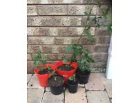 5 various sized holly plants