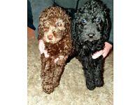 Bedipoo Puppies (Bedlington x Poodle) For Sale