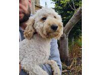 Miniature poodle boy