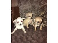 Teacup chihuahua puppys