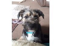 Jack russell x border terrier