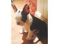 French Bulldog x American Boston Terrier puppy