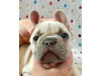 French Bulldog male pups for sale
