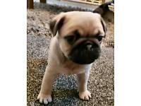 Puggle pups ***last boy***