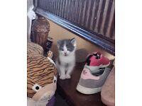 2 boy kittens for sale