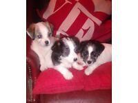 Adorable Maltijack Puppies