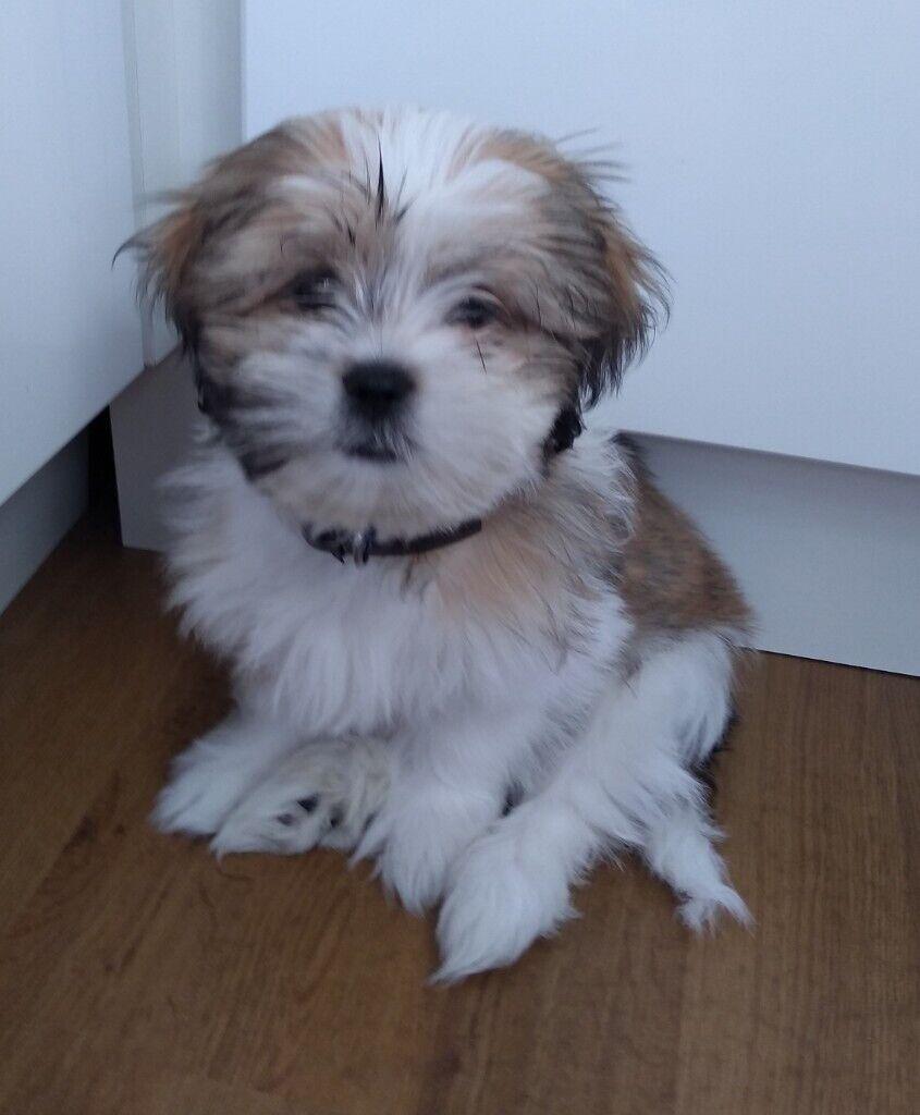3 Months Old Shih Tzu Puppy In East End Glasgow Gumtree