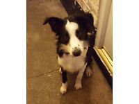 Lovely friendly female collie dog 8 months old