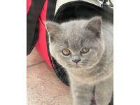 British Shorthair GCCF Pedigree Kittens London