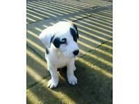 St Bernard x Akita dog puppy