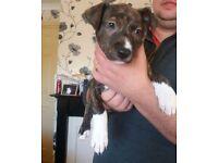 Bullx lurcher puppies for sale