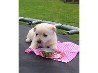 Gorgeous Jackapoo pups for sale