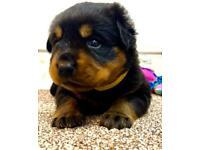 KC REGISTERED Puppies - Rottweiler Rottie Pups