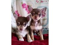 Chocolate tri smoothcoat chihuahua puppies