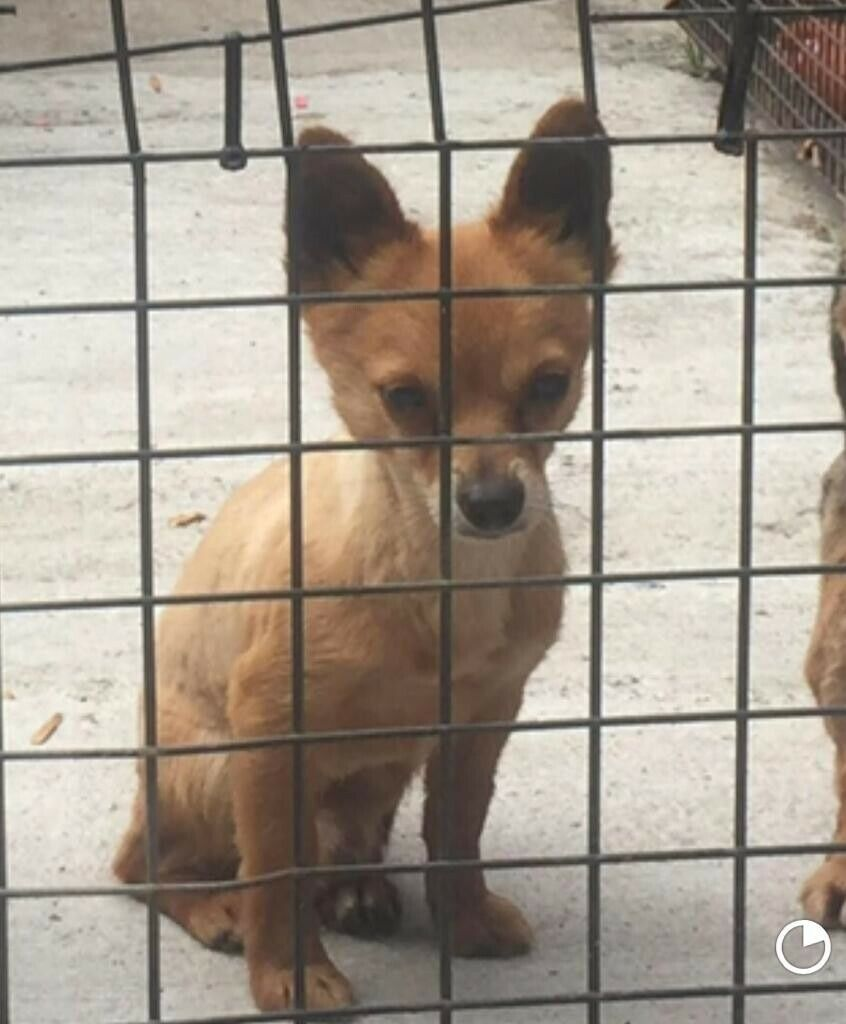 Papillon Chihuahua Mix Male In Belfast City Centre Belfast Gumtree