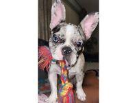 Beautiful, blue eyed, Merle, female french bulldog