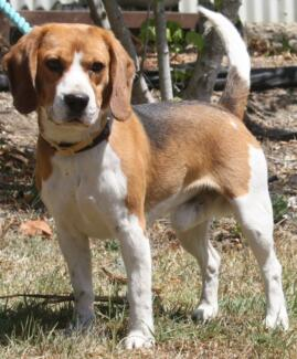 Pure Breed Beagles Gloucester Gloucester Area Preview