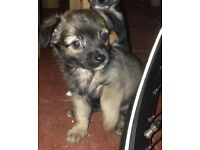 Chihuahua x miniature jack puppies for sale
