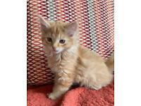 Two kittens (female ginger & male tabby)🐾🐾