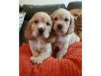 Ready now! Cocker spaniel golden boys