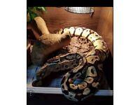 Female ball/royal python + complete viv set up