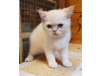 Exotic Shorthaired Persian Kittens