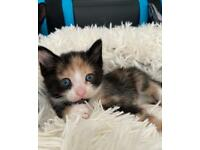 Beautiful Female Tortoiseshell Kitten
