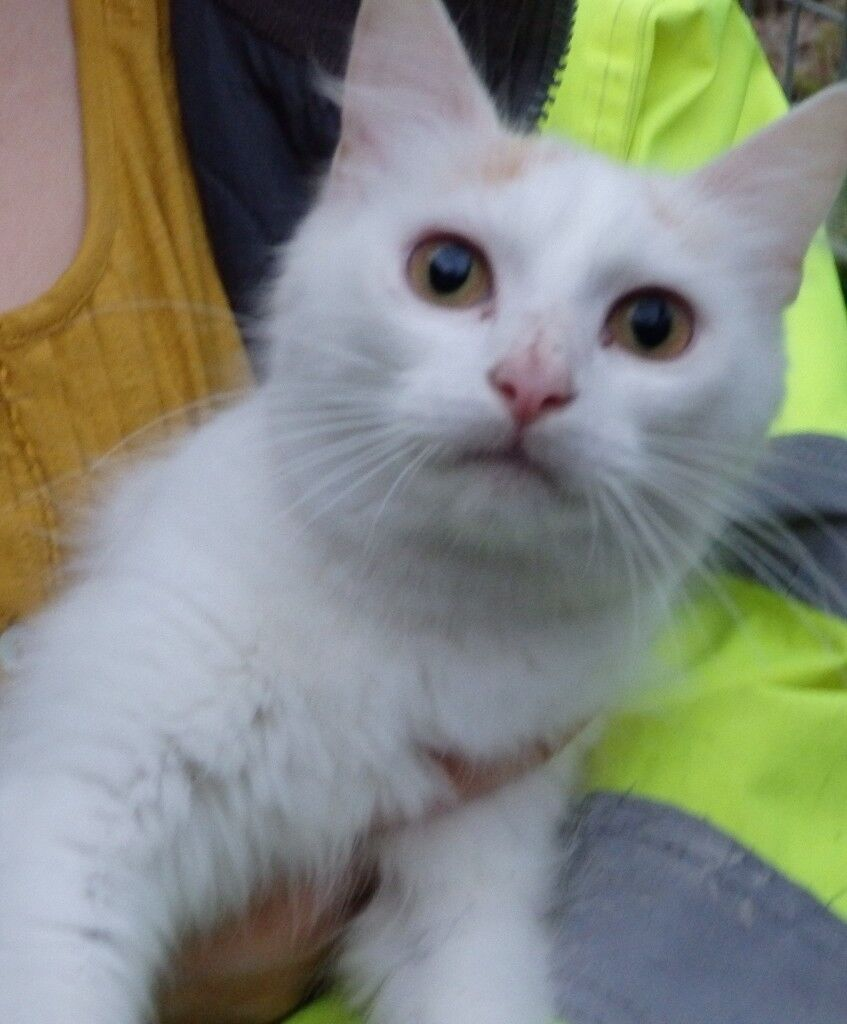 Snowflake the fluffy ginger and white cat needs a loving home