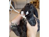 Beautiful friendly Baby plush mini lops ready 23rd may