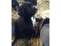 Labrador Retreiver/cross collie pups, Ready from 10th May 2018 to loving homes only.