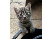 4 Bonkers Kittens for Sale Litter Trained De-Flead etc. Available 20th June Onwards