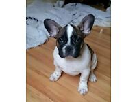 Beautiful Red pied french bulldog