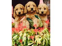 Fabulous F1 Cockapoo Puppies