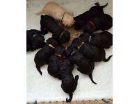 KC Registered Standard Poodle Puppies