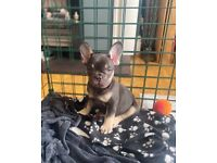 KC French Bulldog puppies - Ready to leave