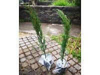 Real Italian Cypress Trees - Singles-£30, Pair-£50 - Free Delivery (Bristol & some South Glous)