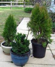 Three Potted Conifer Plants Arcadia Hornsby Area Preview