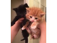 Lively Kittens black & ginger half persian The black is now sold