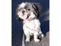 Suki, female Shih Tzu needs a loving home