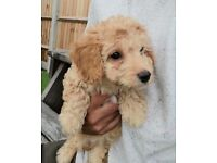 F1b cockapoo girl toy poodle