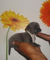 Chiots Chihuahua disponibles