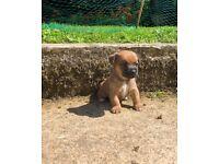 Border Terrier X Jack Russel FOR SALE