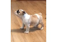 british bulldog puppys ready to go 1 boy